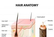 Cuticula Aufbau Haar Schichten